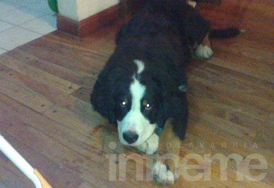 Buscan a una perra que se perdió este jueves