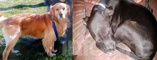 Buscan a dos perros perdidos