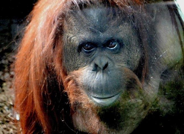 """La orangutana Sandra, """"sujeto de derecho"""""""