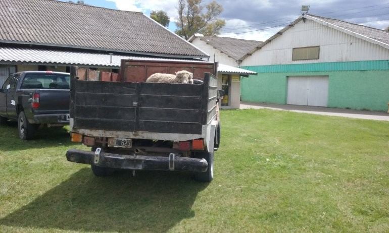 Cuatro personas robaron una oveja en un rastrojero