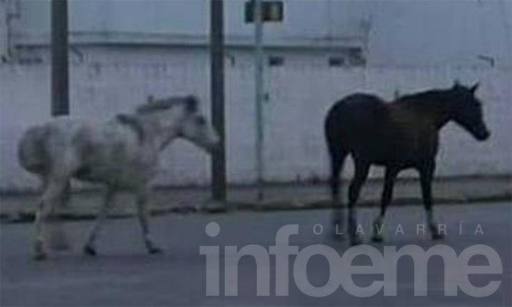 Se le escaparon dos caballos y los buscan