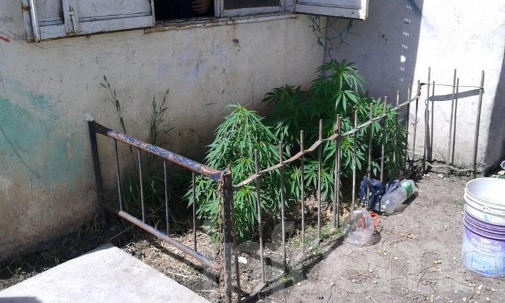 Importante allanamiento: secuestran plantas de marihuana de más de un metro