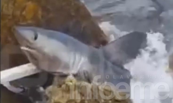 Tiburón, ¿qué buscas en la orilla?