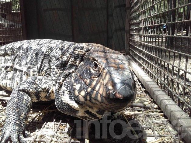 La Máxima: liberaron a un lagarto en la zona serrana