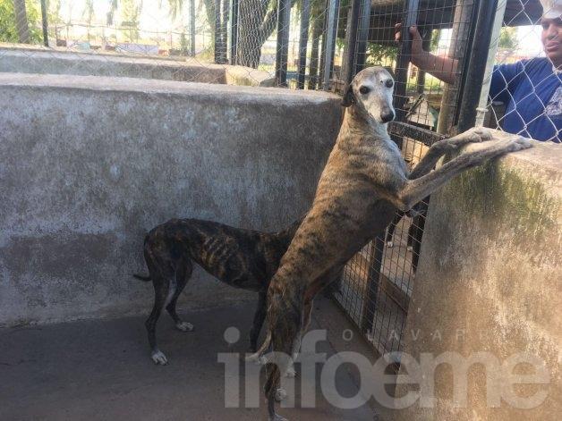 """Carreras de Galgos: """"En Olavarría hemos rescatado a más de cien perros"""""""
