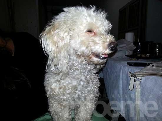 Perros perdidos, encontrados y en adopción