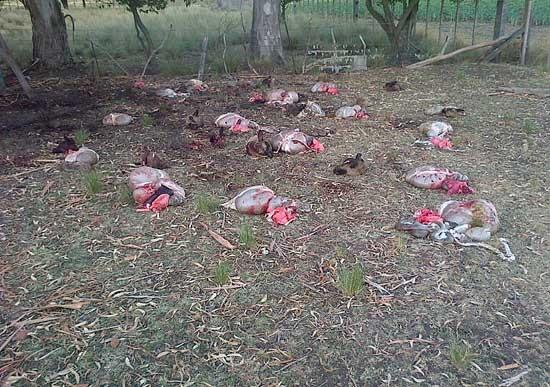 El abigeato arrasó con más 50 animales en una chacra