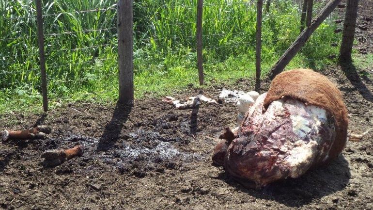 Le carnearon seis vacunos en un campo de Colonia Nievas