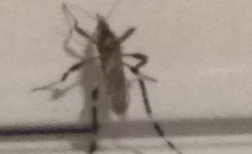 """No es el mosquito transmisor del dengue"""