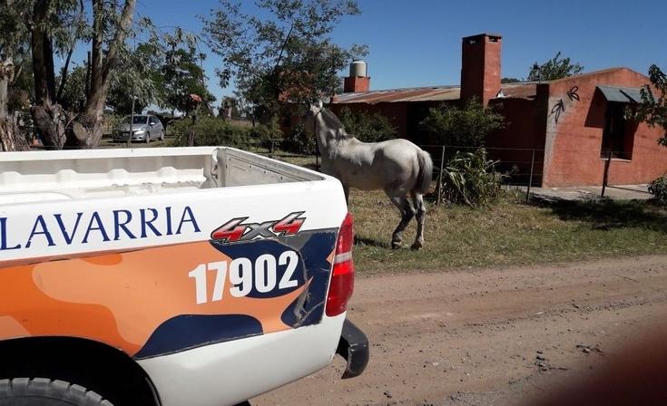 Fue infraccionado por dejar un caballo suelto en la vía pública
