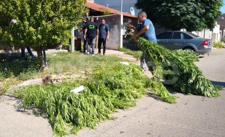 Importante secuestro de plantas de marihuana en el barrio Villa Floresta