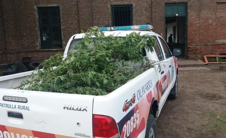 Secuestran plantas de marihuana en un allanamiento