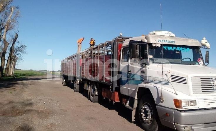Infraccionaron a camionero que llevaba ganado con marcas ilegibles