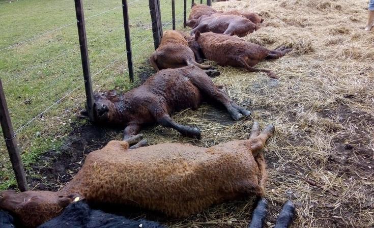 Desgracia en Tapalqué: un rayo mató a 13 terneros